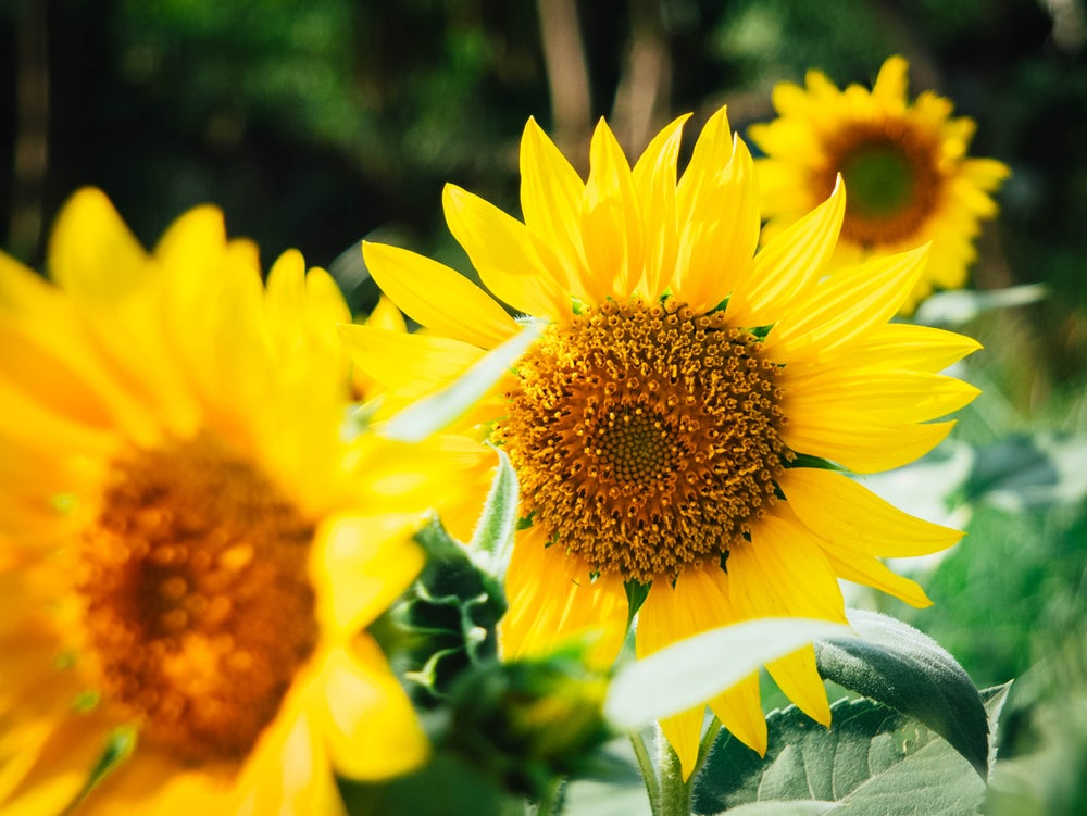 zonnebloemen zijn lievelingsbloemen van Liesbeth de Groot